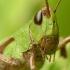 Skėrys | Fotografijos autorius : Vidas Brazauskas | © Macrogamta.lt | Šis tinklapis priklauso bendruomenei kuri domisi makro fotografija ir fotografuoja gyvąjį makro pasaulį.
