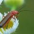 Skėtinis minkštavabalis - Rhagonycha fulva | Fotografijos autorius : Gintautas Steiblys | © Macrogamta.lt | Šis tinklapis priklauso bendruomenei kuri domisi makro fotografija ir fotografuoja gyvąjį makro pasaulį.