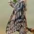 Skaidriasparnis šeriasprindis - Lycia pomonaria   Fotografijos autorius : Gintautas Steiblys   © Macrogamta.lt   Šis tinklapis priklauso bendruomenei kuri domisi makro fotografija ir fotografuoja gyvąjį makro pasaulį.