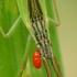Skeltagalvė žolblakė - Notostira elongata | Fotografijos autorius : Vidas Brazauskas | © Macrogamta.lt | Šis tinklapis priklauso bendruomenei kuri domisi makro fotografija ir fotografuoja gyvąjį makro pasaulį.