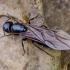 Skruzdėlė - Camponotus herculeanus? | Fotografijos autorius : Kazimieras Martinaitis | © Macrogamta.lt | Šis tinklapis priklauso bendruomenei kuri domisi makro fotografija ir fotografuoja gyvąjį makro pasaulį.