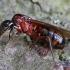 Skruzdėlė - Camponotus ligniperda | Fotografijos autorius : Gintautas Steiblys | © Macrogamta.lt | Šis tinklapis priklauso bendruomenei kuri domisi makro fotografija ir fotografuoja gyvąjį makro pasaulį.