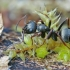 Skruzdėlė - Lasius sp. ?? | Fotografijos autorius : Gintautas Steiblys | © Macrogamta.lt | Šis tinklapis priklauso bendruomenei kuri domisi makro fotografija ir fotografuoja gyvąjį makro pasaulį.