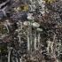 Skutuotoji šiurė - Cladonia fimbriata | Fotografijos autorius : Vytautas Gluoksnis | © Macrogamta.lt | Šis tinklapis priklauso bendruomenei kuri domisi makro fotografija ir fotografuoja gyvąjį makro pasaulį.