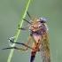 Slankmusė   Marsh snipefly   Rhagio tringarius   Fotografijos autorius : Darius Baužys   © Macrogamta.lt   Šis tinklapis priklauso bendruomenei kuri domisi makro fotografija ir fotografuoja gyvąjį makro pasaulį.