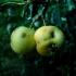 Slyvalapė obelis - Malus prunifolia | Fotografijos autorius : Aleksandras Stabrauskas | © Macrogamta.lt | Šis tinklapis priklauso bendruomenei kuri domisi makro fotografija ir fotografuoja gyvąjį makro pasaulį.
