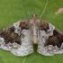 Slyvinis juostasprindis - Eulithis prunata | Fotografijos autorius : Žilvinas Pūtys | © Macrogamta.lt | Šis tinklapis priklauso bendruomenei kuri domisi makro fotografija ir fotografuoja gyvąjį makro pasaulį.