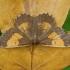 Slyvinis sprindžius - Angerona prunaria ♂ | Fotografijos autorius : Žilvinas Pūtys | © Macrogamta.lt | Šis tinklapis priklauso bendruomenei kuri domisi makro fotografija ir fotografuoja gyvąjį makro pasaulį.