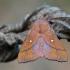 Slyvinis verpikas - Odonestis pruni   Fotografijos autorius : Arūnas Eismantas   © Macrogamta.lt   Šis tinklapis priklauso bendruomenei kuri domisi makro fotografija ir fotografuoja gyvąjį makro pasaulį.