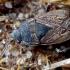 Smėlinė dirvablakė - Trapezonotus arenarius   Fotografijos autorius : Romas Ferenca   © Macrogamta.lt   Šis tinklapis priklauso bendruomenei kuri domisi makro fotografija ir fotografuoja gyvąjį makro pasaulį.