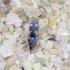 Smėlinis smulkiaspragšis - Negastrius sabulicola | Fotografijos autorius : Romas Ferenca | © Macrogamta.lt | Šis tinklapis priklauso bendruomenei kuri domisi makro fotografija ir fotografuoja gyvąjį makro pasaulį.