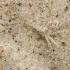 Smėlinis vikrūnas - Philodromus fallax | Fotografijos autorius : Kazimieras Martinaitis | © Macrogamta.lt | Šis tinklapis priklauso bendruomenei kuri domisi makro fotografija ir fotografuoja gyvąjį makro pasaulį.