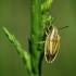 Smailiagalvė skydblakė - Aelia acuminata | Fotografijos autorius : Vidas Brazauskas | © Macrogamta.lt | Šis tinklapis priklauso bendruomenei kuri domisi makro fotografija ir fotografuoja gyvąjį makro pasaulį.