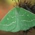 Smaragdinis žaliasprindis - Thetidia smaragdaria | Fotografijos autorius : Gintautas Steiblys | © Macrogamta.lt | Šis tinklapis priklauso bendruomenei kuri domisi makro fotografija ir fotografuoja gyvąjį makro pasaulį.