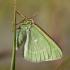 Smaragdinis žaliasprindis - Thetidia smaragdaria | Fotografijos autorius : Zita Gasiūnaitė | © Macrogamta.lt | Šis tinklapis priklauso bendruomenei kuri domisi makro fotografija ir fotografuoja gyvąjį makro pasaulį.