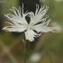 Smiltyninis gvazdikas - Dianthus arenarius | Fotografijos autorius : Vytautas Gluoksnis | © Macrogamta.lt | Šis tinklapis priklauso bendruomenei kuri domisi makro fotografija ir fotografuoja gyvąjį makro pasaulį.