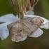 Sodinis pelėdgalvis - Cosmia trapezina | Fotografijos autorius : Žilvinas Pūtys | © Macrogamta.lt | Šis tinklapis priklauso bendruomenei kuri domisi makro fotografija ir fotografuoja gyvąjį makro pasaulį.