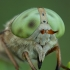 Sparva - Atylotus rusticus ♀   Fotografijos autorius : Žilvinas Pūtys   © Macrogamta.lt   Šis tinklapis priklauso bendruomenei kuri domisi makro fotografija ir fotografuoja gyvąjį makro pasaulį.