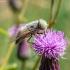 Sparva - Atylotus rusticus | Fotografijos autorius : Virginijus Jaseliunas | © Macrogamta.lt | Šis tinklapis priklauso bendruomenei kuri domisi makro fotografija ir fotografuoja gyvąjį makro pasaulį.