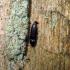 Kelminis spragšis - Procraerus tibialis (Boisduval et Lacordaire, 1835) | Fotografijos autorius : Vitalii Alekseev | © Macrogamta.lt | Šis tinklapis priklauso bendruomenei kuri domisi makro fotografija ir fotografuoja gyvąjį makro pasaulį.