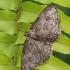 Mėlyninis žievėsprindis - Ectropis crepuscularia, tamsi forma | Fotografijos autorius : Gintautas Steiblys | © Macrogamta.lt | Šis tinklapis priklauso bendruomenei kuri domisi makro fotografija ir fotografuoja gyvąjį makro pasaulį.