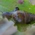 Sraigė - Rumina decollata, juv.   Fotografijos autorius : Gintautas Steiblys   © Macrogamta.lt   Šis tinklapis priklauso bendruomenei kuri domisi makro fotografija ir fotografuoja gyvąjį makro pasaulį.