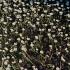 Standžialapė kurklė - Ranunculus circinatus | Fotografijos autorius : Kęstutis Obelevičius | © Macrogamta.lt | Šis tinklapis priklauso bendruomenei kuri domisi makro fotografija ir fotografuoja gyvąjį makro pasaulį.