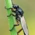 Storakojis uodas - Bibio brunnipes ♂ | Fotografijos autorius : Gintautas Steiblys | © Macrogamta.lt | Šis tinklapis priklauso bendruomenei kuri domisi makro fotografija ir fotografuoja gyvąjį makro pasaulį.
