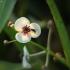 Strėlialapė papliauška - sagittaria sagittifolia | Fotografijos autorius : Vidas Brazauskas | © Macrogamta.lt | Šis tinklapis priklauso bendruomenei kuri domisi makro fotografija ir fotografuoja gyvąjį makro pasaulį.