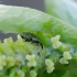 Straubliukas - Acalyptus carpini   Fotografijos autorius : Romas Ferenca   © Macrogamta.lt   Šis tinklapis priklauso bendruomenei kuri domisi makro fotografija ir fotografuoja gyvąjį makro pasaulį.