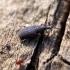 Straubliukas - Dryophthorus corticalis | Fotografijos autorius : Vitalii Alekseev | © Macrogamta.lt | Šis tinklapis priklauso bendruomenei kuri domisi makro fotografija ir fotografuoja gyvąjį makro pasaulį.