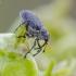 Ankštarinis paslėptastraublis - Ceutorhynchus obstrictus | Fotografijos autorius : Darius Baužys | © Macrogamta.lt | Šis tinklapis priklauso bendruomenei kuri domisi makro fotografija ir fotografuoja gyvąjį makro pasaulį.