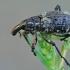 Straubliukas - Coniocleonus hollbergii   Fotografijos autorius : Gintautas Steiblys   © Macrogamta.lt   Šis tinklapis priklauso bendruomenei kuri domisi makro fotografija ir fotografuoja gyvąjį makro pasaulį.