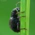 Raktažolinis straubliukas - Sciaphilus asperatus | Fotografijos autorius : Vidas Brazauskas | © Macrogamta.lt | Šis tinklapis priklauso bendruomenei kuri domisi makro fotografija ir fotografuoja gyvąjį makro pasaulį.