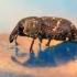 Didysis pušinis straubliukas - Hylobius abietis | Fotografijos autorius : Ramunė Vakarė | © Macrogamta.lt | Šis tinklapis priklauso bendruomenei kuri domisi makro fotografija ir fotografuoja gyvąjį makro pasaulį.