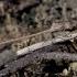 Sibirinė strėliukė - Sympecma paedisca | Fotografijos autorius : Vytautas Jusys | © Macrogamta.lt | Šis tinklapis priklauso bendruomenei kuri domisi makro fotografija ir fotografuoja gyvąjį makro pasaulį.