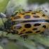 Taškuotasis gluosninukas - Chrysomela vigintipunctata | Fotografijos autorius : Žilvinas Pūtys | © Macrogamta.lt | Šis tinklapis priklauso bendruomenei kuri domisi makro fotografija ir fotografuoja gyvąjį makro pasaulį.