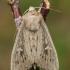 Taškuotasis pievinukas - Leucania obsoleta | Fotografijos autorius : Gintautas Steiblys | © Macrogamta.lt | Šis tinklapis priklauso bendruomenei kuri domisi makro fotografija ir fotografuoja gyvąjį makro pasaulį.