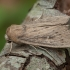 Taškuotasis pievinukas - Leucania obsoleta | Fotografijos autorius : Žilvinas Pūtys | © Macrogamta.lt | Šis tinklapis priklauso bendruomenei kuri domisi makro fotografija ir fotografuoja gyvąjį makro pasaulį.