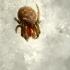Taškuotasis voriukas - Araniella displicata   Fotografijos autorius : Ramunė Vakarė   © Macrogamta.lt   Šis tinklapis priklauso bendruomenei kuri domisi makro fotografija ir fotografuoja gyvąjį makro pasaulį.
