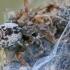 Tamsiažiedis raizguolis - Dictyna arundinacea | Fotografijos autorius : Gintautas Steiblys | © Macrogamta.lt | Šis tinklapis priklauso bendruomenei kuri domisi makro fotografija ir fotografuoja gyvąjį makro pasaulį.