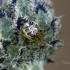 Tamsiakraštis kilpininkas   Fotografijos autorius : Darius Baužys   © Macrogamta.lt   Šis tinklapis priklauso bendruomenei kuri domisi makro fotografija ir fotografuoja gyvąjį makro pasaulį.