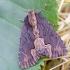 Tamsiasparnis pelėdgalvis - Dypterygia scabriuscula | Fotografijos autorius : Romas Ferenca | © Macrogamta.lt | Šis tinklapis priklauso bendruomenei kuri domisi makro fotografija ir fotografuoja gyvąjį makro pasaulį.