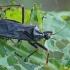 Tamsioji plėšriablakė - Reduvius personatus | Fotografijos autorius : Gintautas Steiblys | © Macrogamta.lt | Šis tinklapis priklauso bendruomenei kuri domisi makro fotografija ir fotografuoja gyvąjį makro pasaulį.