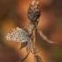 Tamsusis auksinukas - Lycaena tityrus | Fotografijos autorius : Žilvinas Pūtys | © Macrogamta.lt | Šis tinklapis priklauso bendruomenei kuri domisi makro fotografija ir fotografuoja gyvąjį makro pasaulį.