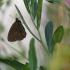 Tamsusis satyras - Aphantopus hyperantus | Fotografijos autorius : Vidas Brazauskas | © Macrogamta.lt | Šis tinklapis priklauso bendruomenei kuri domisi makro fotografija ir fotografuoja gyvąjį makro pasaulį.