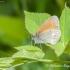 Tamsusis satyriukas (Coenonympha glycerion) | Fotografijos autorius : Aleksandras Naryškin | © Macrogamta.lt | Šis tinklapis priklauso bendruomenei kuri domisi makro fotografija ir fotografuoja gyvąjį makro pasaulį.