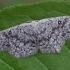Tamsusis taškasprindis - Cyclophora pendularia   Fotografijos autorius : Gintautas Steiblys   © Macrogamta.lt   Šis tinklapis priklauso bendruomenei kuri domisi makro fotografija ir fotografuoja gyvąjį makro pasaulį.
