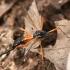 Tanyptera atrata | Fotografijos autorius : Vytautas Tamutis | © Macrogamta.lt | Šis tinklapis priklauso bendruomenei kuri domisi makro fotografija ir fotografuoja gyvąjį makro pasaulį.