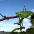 Žiogas giesmininkas - Tettigonia cantans | Fotografijos autorius : Vitalii Alekseev | © Macrogamta.lt | Šis tinklapis priklauso bendruomenei kuri domisi makro fotografija ir fotografuoja gyvąjį makro pasaulį.